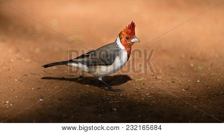 This Red Crested Cardinal Hunts Along The Ground Looking For Grubs, Insects And Worms In Hawaii