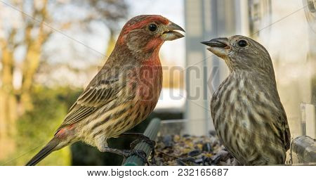 A Male House Finch Tries To Snatch Food From The Mouth Of A Female, Two Birds In The Feeder