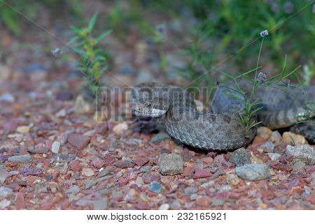 A Twin-spotted Rattlesnake From One Of The Sky Island Mountain Ranges In Southern Arizona.