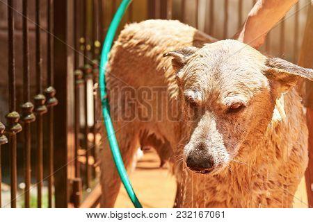 Unhappy Dog While Washing Close-up. Wet Sad Brown Dog Taking Shower