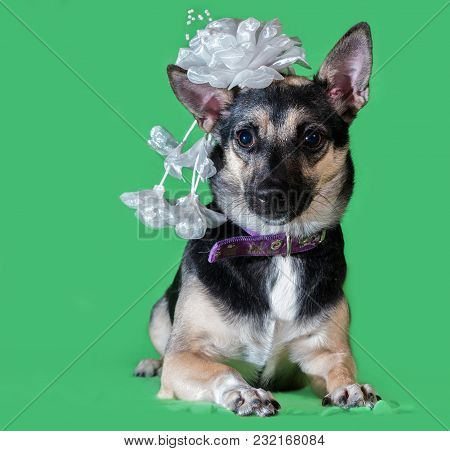 Funny Dog Mongrel With A Bow On His Head On A Green Background