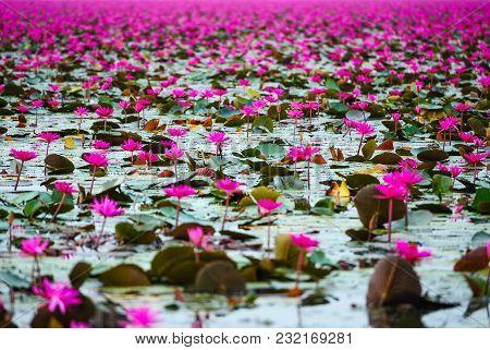 Beautiful Pink Lotus Flowers In Lake Of Lotus In Udon Thani, Thailand