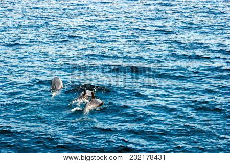Family Of Three Dolphins Swimming In  Ocean Waters Off The Coast Of Ventura County, Southern Califor