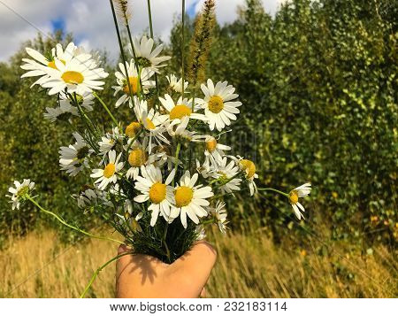 Bouquet Of Daisies In The Hand Of A Man Collected In A Clearing In The Woods. A Man Stands In The Fo