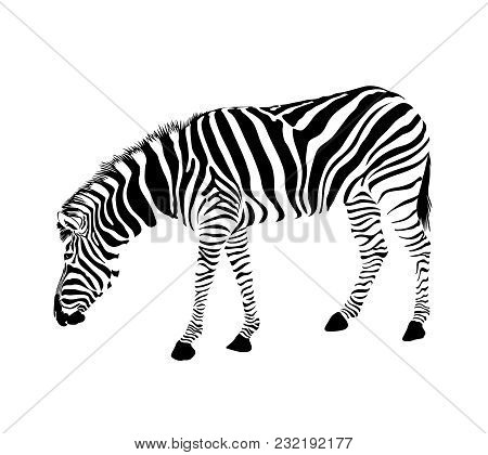Zebra Stance Bend Vector Photo Free Trial