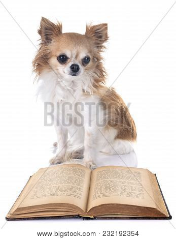 Adult Chihuahua In Front Of White Background
