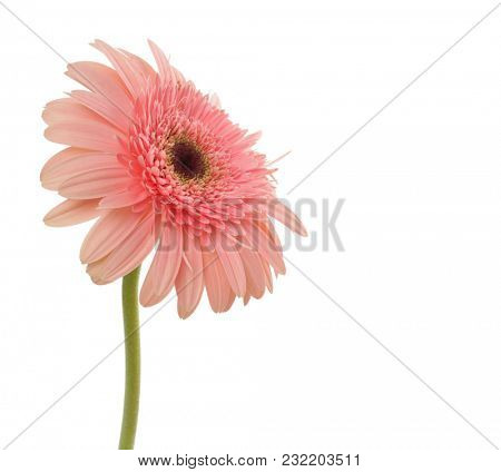 Pink gerbera flower bouquet isolated on white.