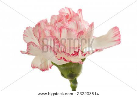 Pink carnation flower isolated on white.