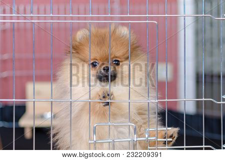 Pomeranian Puppy Is Standing In A Aviary And Looking
