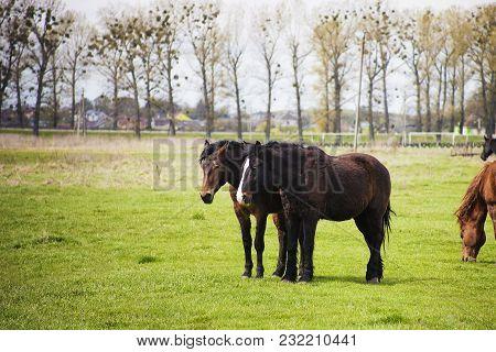 Pair Of Dark Brown Horses Walking On Green Field
