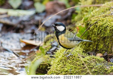 Great Tit (parus Major) On Moss By Stream. Bird Washing With Striking Orange Breast, In Bath Botanic
