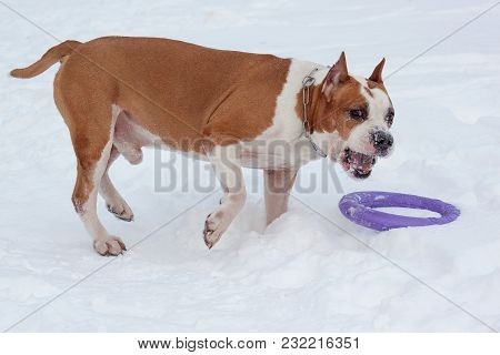 Cute American Staffordshire Terrier Is Playing With His Toy On A White Snow. Pet Animals.