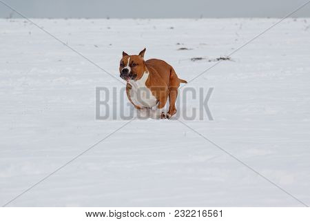 Cute American Staffordshire Terrier Is Running Through A White Snow. Pet Animals. Seven Month Old.