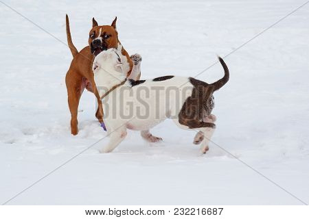 Two American Staffordshire Terrier Puppys Are Playing On A White Snow. Seven Month Old. Pet Animals.