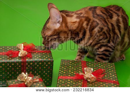 Beautiful Bengal Cat Is Licking Her Gift. Pet Animals.