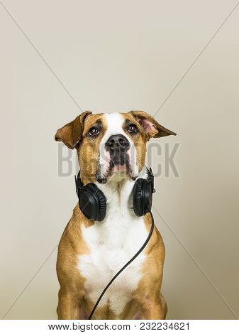 Dog With Headphones As Audiophile. Studio Portrait Of Staffordshire Terrier Puppy Posing In Neutral