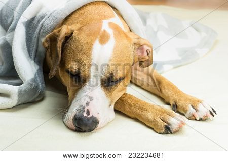 Lazy Or Sick Pet Dog Relaxing And Sleeping In Clean White Throw Blanket. Sleepy Staffordshire Terrie