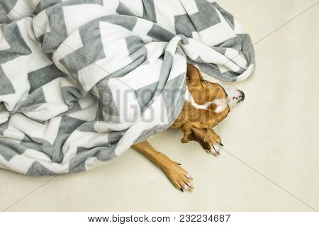 Head And Paws Of Lazy Or Sick Pet Dog In Clean White Throw Blanket. Sleepy Staffordshire Terrier Dog