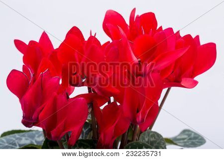 The Persian Cyclamen Flower Isolated On White Background
