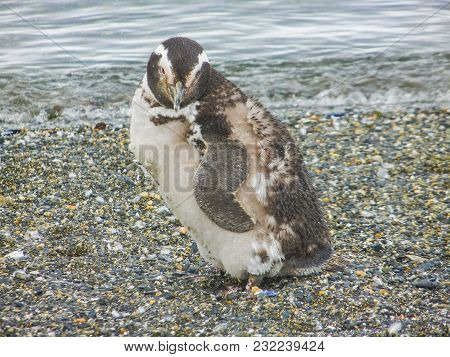 The Magellanic Penguin On The Islands Of Tierra Del Fuego Patagonia Argentina Close Up