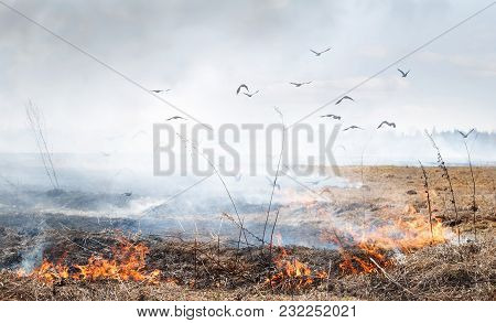 Spring Arsons Of A Grass - Disaster. Strong Wind Spreads Fire. Often Birds Carry The Smoldering Bran