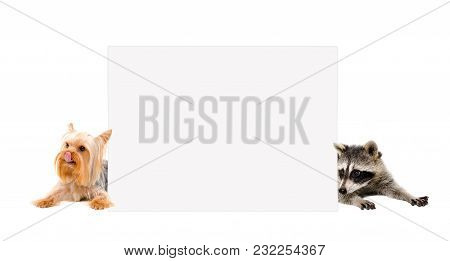 Yorkshire Terrier And Raccoon, Peeking From Behind A Banner, Isolated On White Background