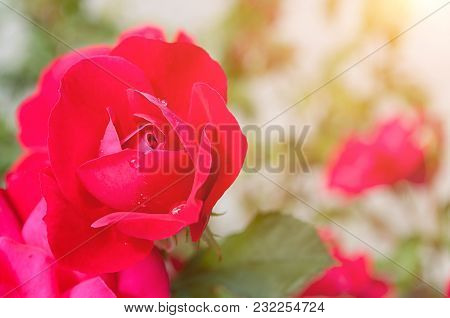 Flower Summer Background With Summer Pink Rose Flower In The Summer Garden, Closeup View Of Garden R