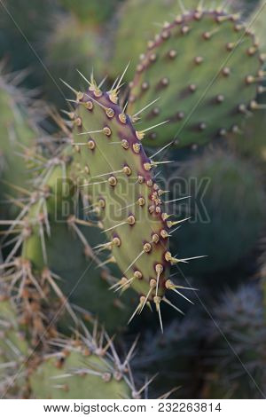 Spines Running Along A Prickly Pear Cactus.