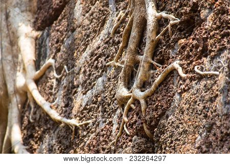 Banyan Tree Roots Covering Old Building Wall