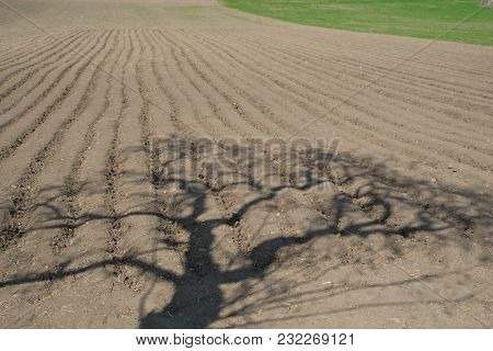 Shadow Of The Tree On The Potatoes Field In The Springtime