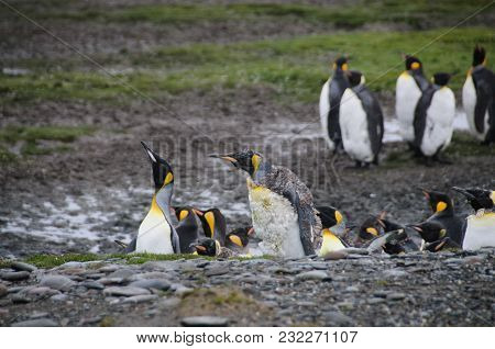 Impression Of The Wild Abundance Of King Penguins At Salisbury Plains, South Georgia. Salisbury Plai