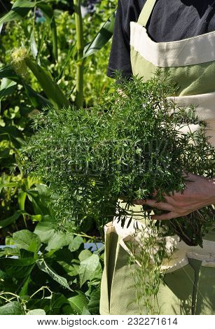Colorful And Crisp Image Of Summer Savory Harvest In Garden
