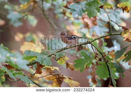 A Common Chaffinch In A Tree With Green And Yellow Colored Leaves