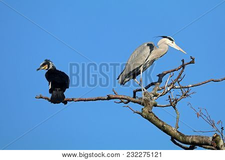 Great Cormorant And Blue Heron In A Tree With A Blue Sky Background
