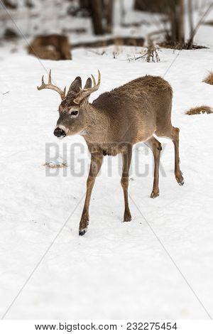 White-Tailed Deer (Odocoileus virginianus) Walks Forward - captive animal poster