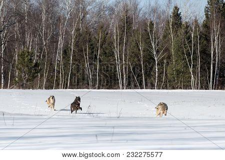 Trio Of Grey Wolves (canis Lupus) Runs Through Field - Captive Animals