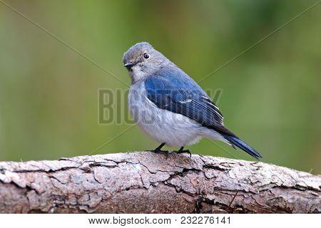 Ultramarine Flycatcher Ficedula Superciliaris Cute Juvenile Male Birds Of Thailand