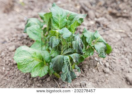 Potato Sprouts Are Damaged By Frost