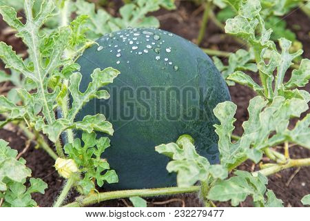 Green Watermelon Growing In The Garden Close-up