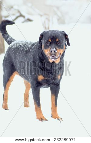 Young Rottweiler Breed Dog Looks Away From The Lens