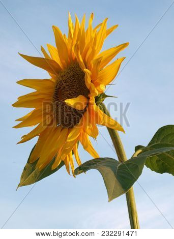 Big yellow sunflower against the blue sky