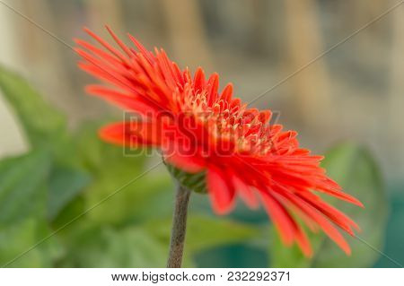 A Beautiful Orange Isolated Gerbera Flower. It Is A Genus Of Plants In The Asteraceae (daisy Family)