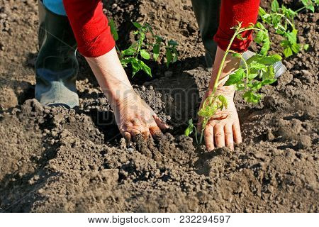 An Elderly Woman Puts Tomato Seedlings In The Ground. Agricultural Spring Work.