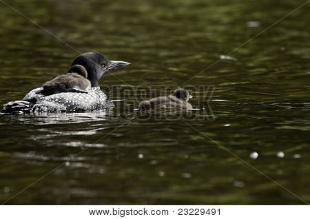 Male Loon