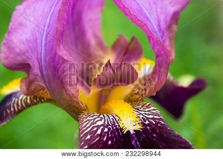 Beautiful Iris Closeup, Isolated On Green Bearded Cultivar