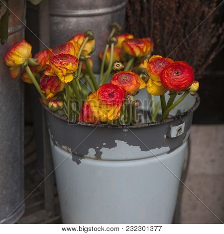Ranunculus - Persian Buttercups In Pail For Sale