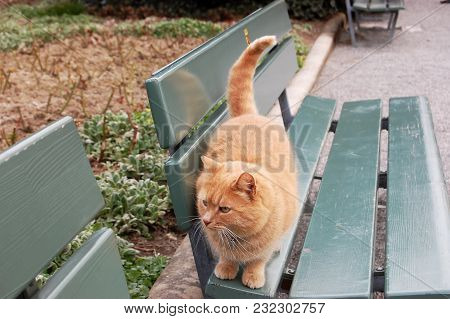A Beautiful Red Cat With Yellow Eyes Is Walking Along A Bench In A City Park.