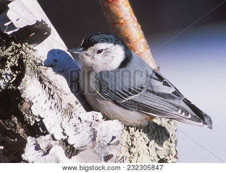 A White Breasted Nuthatch Rests On A Branch
