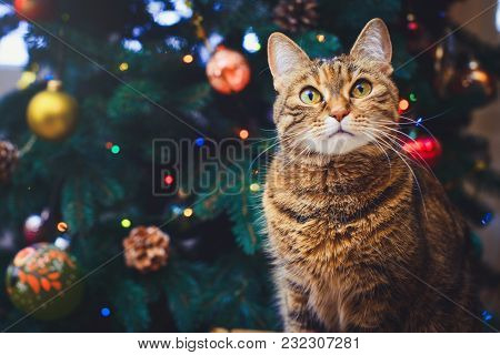 Funny Cat At Home Sitting At Home Beautiful Christmas Background With A New Year Daccor, Christmas T