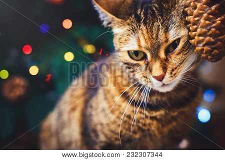 Funny Cat At Home Home Played With Cone Beautiful Christmas Background With New Year Daccor, Christm